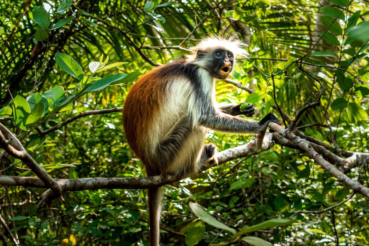 Red Colobus, Jozani Forest